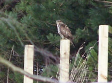 Buzzard at Cavalry Park, Colzium