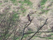 Buzzard moved into Cavalry Park when I got closer!