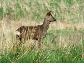Roe deer at Cavalry Park Kilsyth May 2006 RK